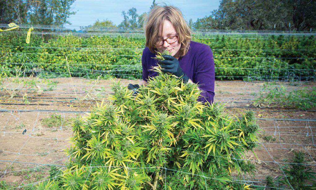 Cannabisplant