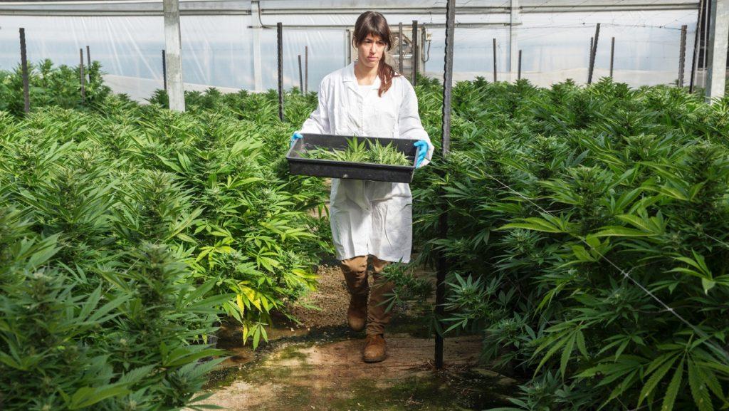 Cannabis Israël